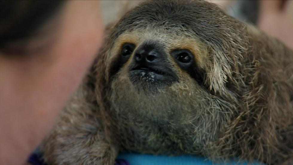 Baby Sloth Nursed Back to Health  image