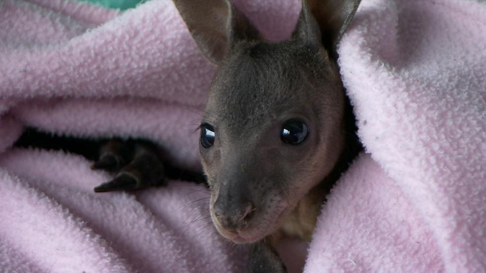 Orphaned Baby Wallaby Gets Special Attention image