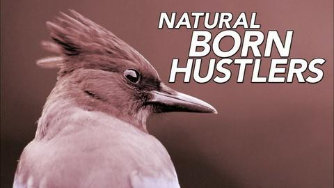 Nature -- Natural Born Hustlers | Episode 1 |  Preview