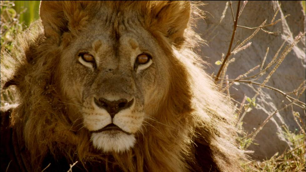 Maned Lioness Displays Both Male and Female Traits  image