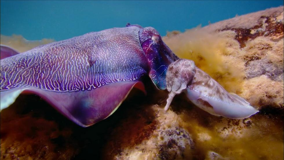 Cuttlefish Males Fool Rivals by Imitating Opposite Sex  image