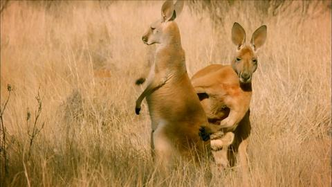 Nature -- S34 Ep9: The Sneaky Mating Strategy of Red Kangaroos