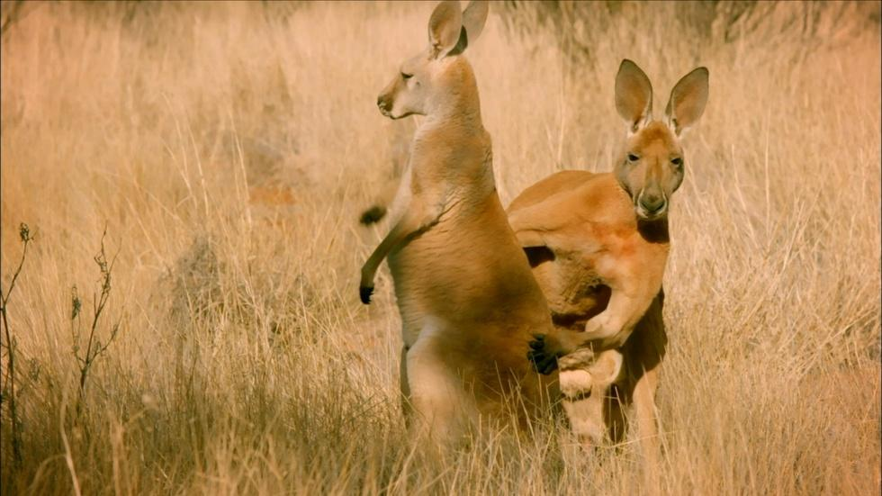 S34 Ep9: The Sneaky Mating Strategy of Red Kangaroos  image