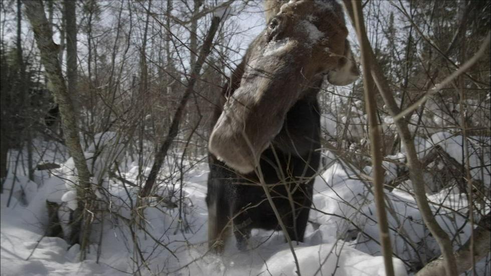 Brain Parasite Turns Moose Into Zombies  image