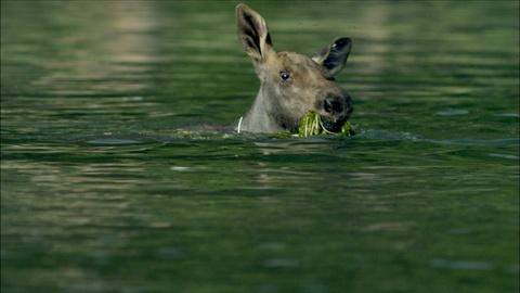 Nature -- S34 Ep8: Adorable Baby Moose Learns to Swim