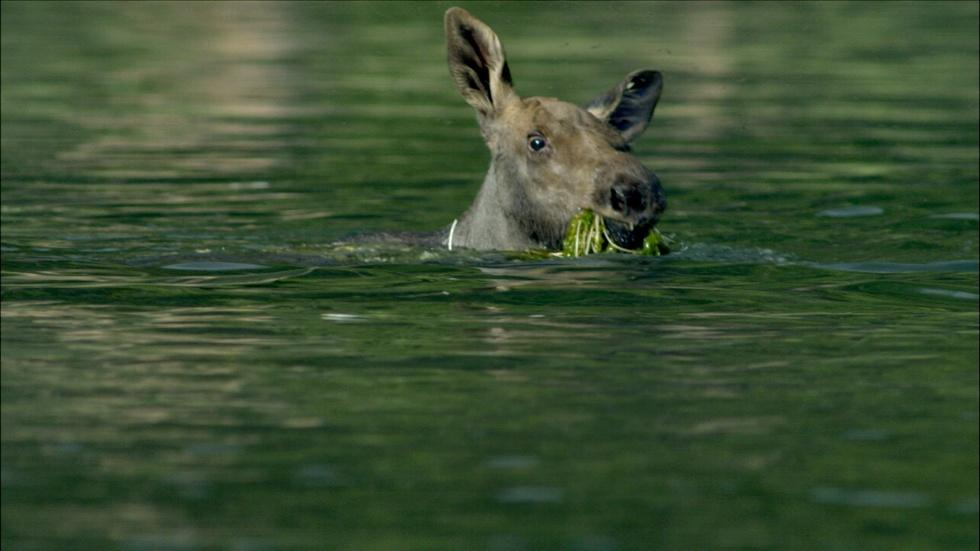 Adorable Baby Moose Learns to Swim  image