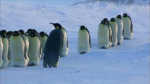 Nature -- S34 Ep6: How Female Emperor Penguins Find Their Chicks
