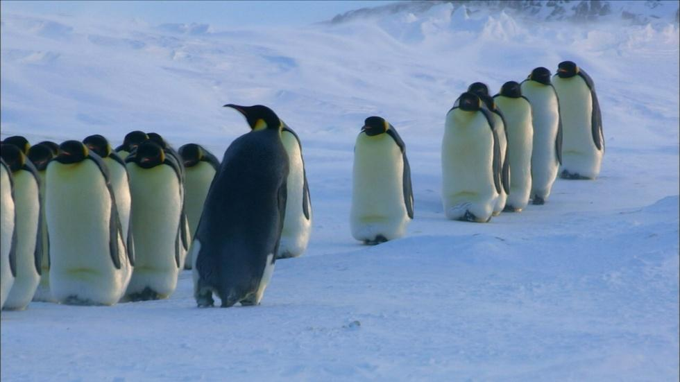 How Female Emperor Penguins Find Their Chicks  image