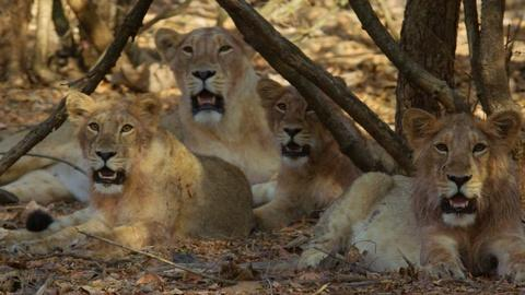Nature -- S34 Ep5: India's Wandering Lions | Preview