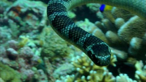 Nature -- S34 Ep4: Roving Gang of Sea Snakes and Fish Terrorize Reef