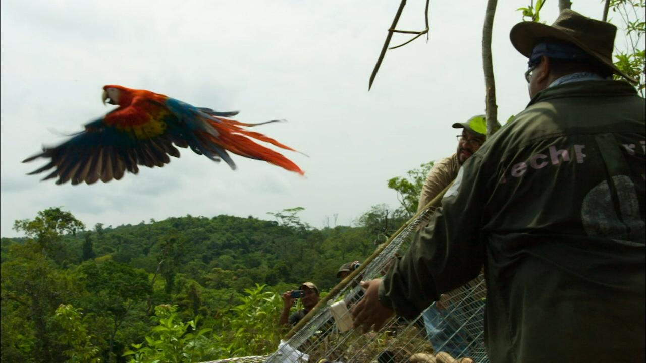 Scarlet Macaws Released to the Wild