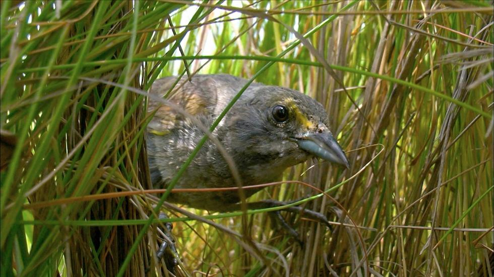 Saltmarsh Sparrow Chick Narrowly Escapes Death  image