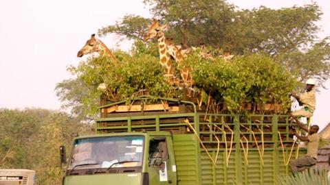 Nature -- Giraffe Road Trip