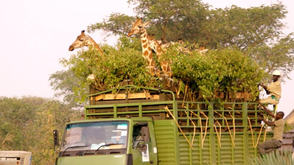 Giraffe Road Trip  image