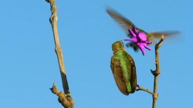Costa's Hummingbird Dances to Woo Mate