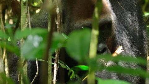 Nature -- S35 Ep2: Close Encounter with Huge Silverback Gorilla