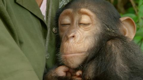 Nature -- S35 Ep2: Orphaned Baby Chimp Snuggles with Caregiver