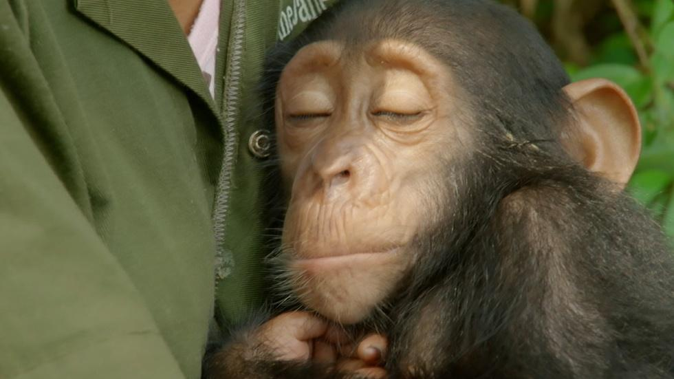 S34: Orphaned Baby Chimp Snuggles with Caregiver  image