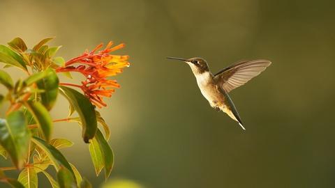 Nature -- Super Hummingbirds