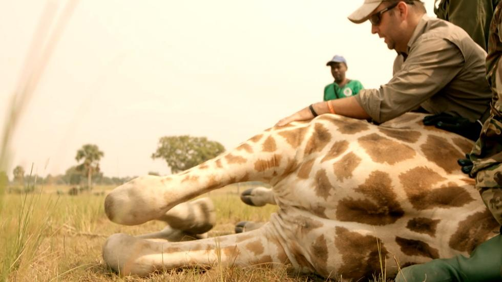 S34: Wildlife Vets Take Down Giraffe — To Save It! image