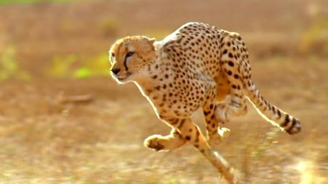 Nature -- Did the American Cheetah Make the Pronghorn Fast?