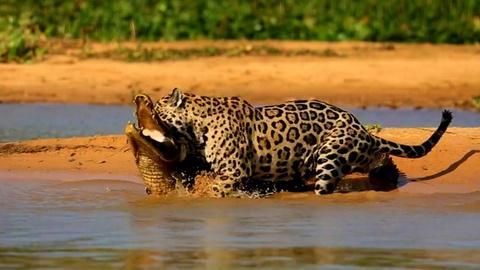 Nature -- Jaguar Attacks Caiman Crocodile
