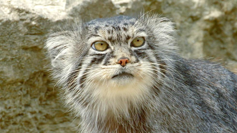 S35 Ep5: Grumpy-Faced Cat is a Mountain Survivor image