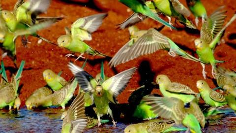Nature -- Parrots in the Land of Oz