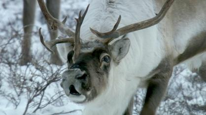 Nature -- Reindeer Noses Really Do Glow Red