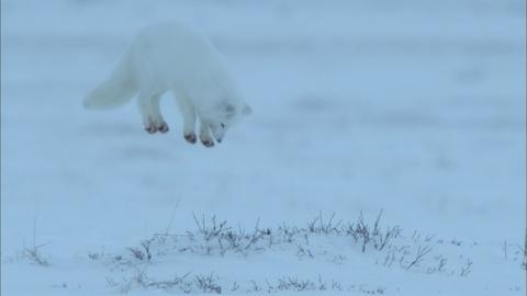 Nature -- S35 Ep6: Arctic Fox Dive Bombs Prey Hidden in the Snow