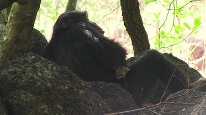 Nature -- Chimp Makes Orphaned Genet Cat His Pet