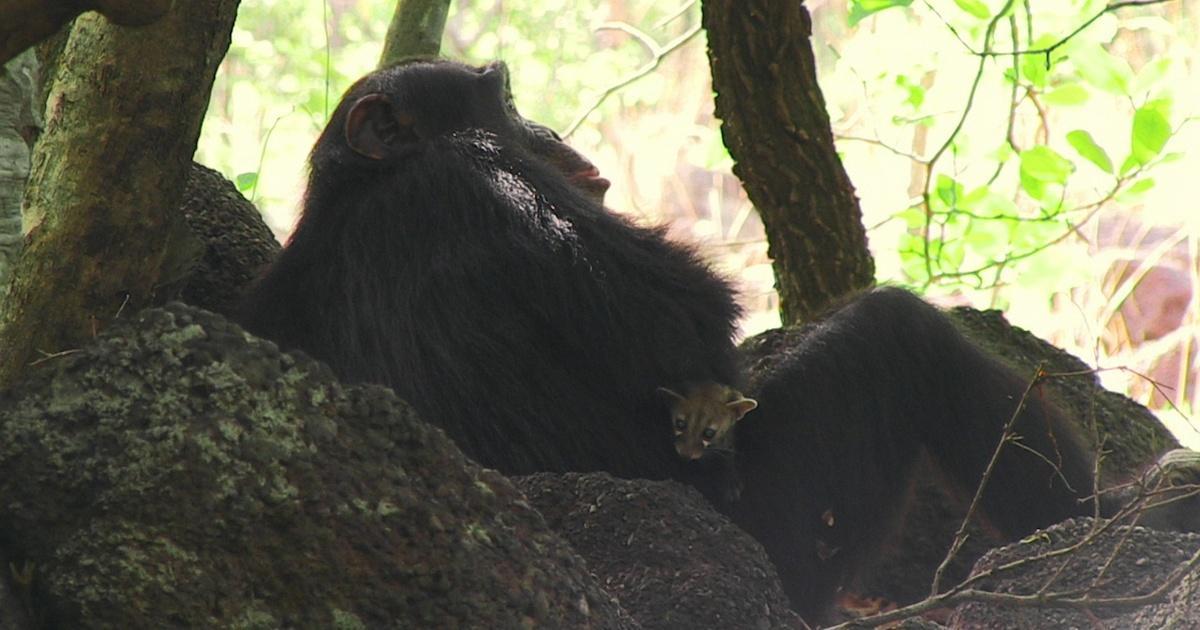 Chimp Makes Orphaned Genet Cat His Pet