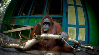 Orangutan Learns to Saw Wood