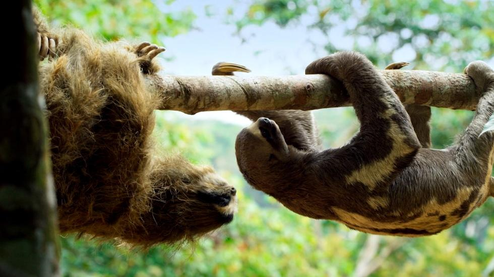 'Spy Sloth' Meets Real Sloth  image