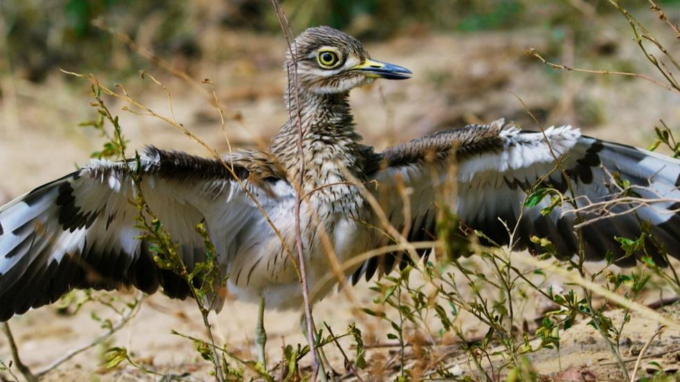 Is the Dikkop the Bravest Bird in the World?  image