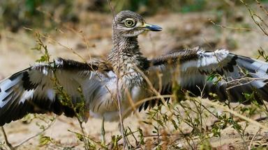 Is the Dikkop the Bravest Bird in the World?