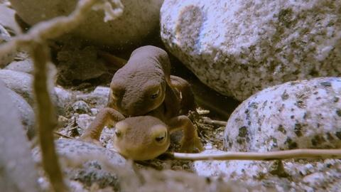Nature -- Newt Mating in the High Sierra | Yosemite Web Exclusive