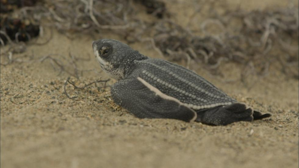 Leatherback Turtle Hatchlings Emerge from Sand  image