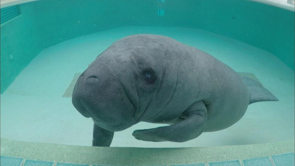 S35 Ep13: Meet the Manatees  image