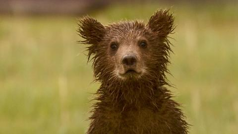 """S29 E13: Bears of the Last Frontier, """"City of Bears"""" - Preview"""