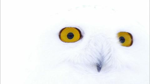 Nature -- Magic of the Snowy Owl Preview