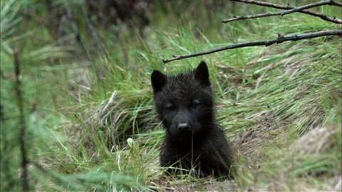Nature -- S30 Ep11: Wolf Pups Right Off the Trail