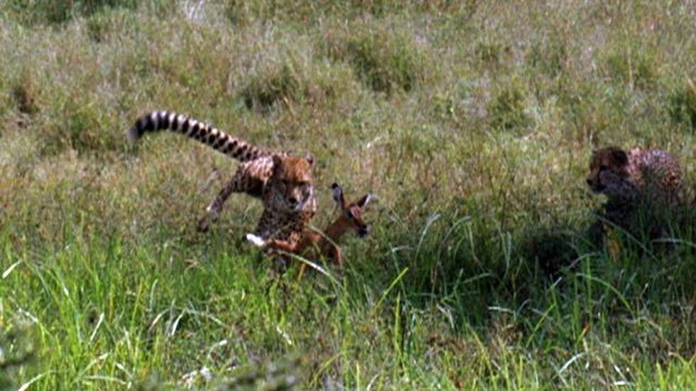 Cheetahs Learning to Hunt | The Cheetah Orphans image
