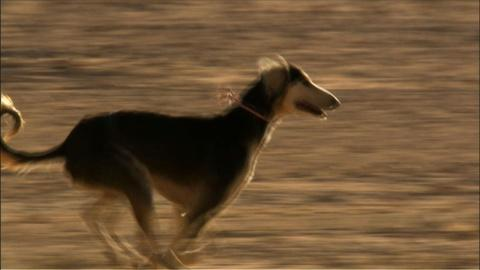 Nature -- S25 Ep11: Speedy Saluki