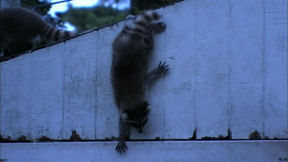 Raccoon First Night Out image