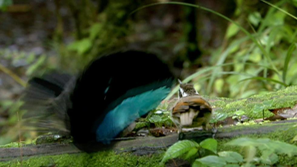 Superb Bird of Paradise image