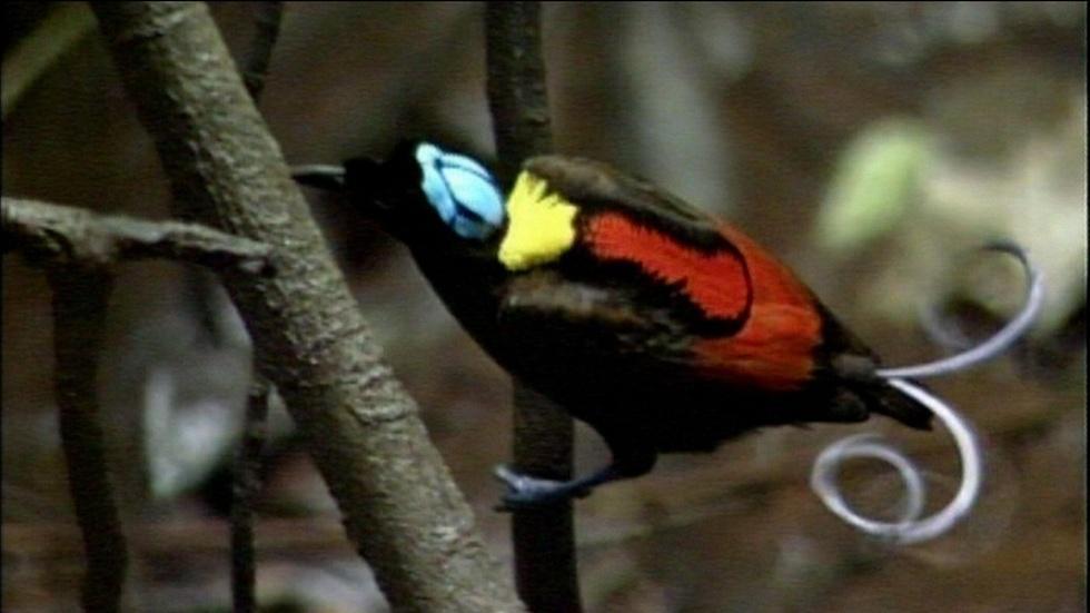 Wilson's Bird of Paradise image