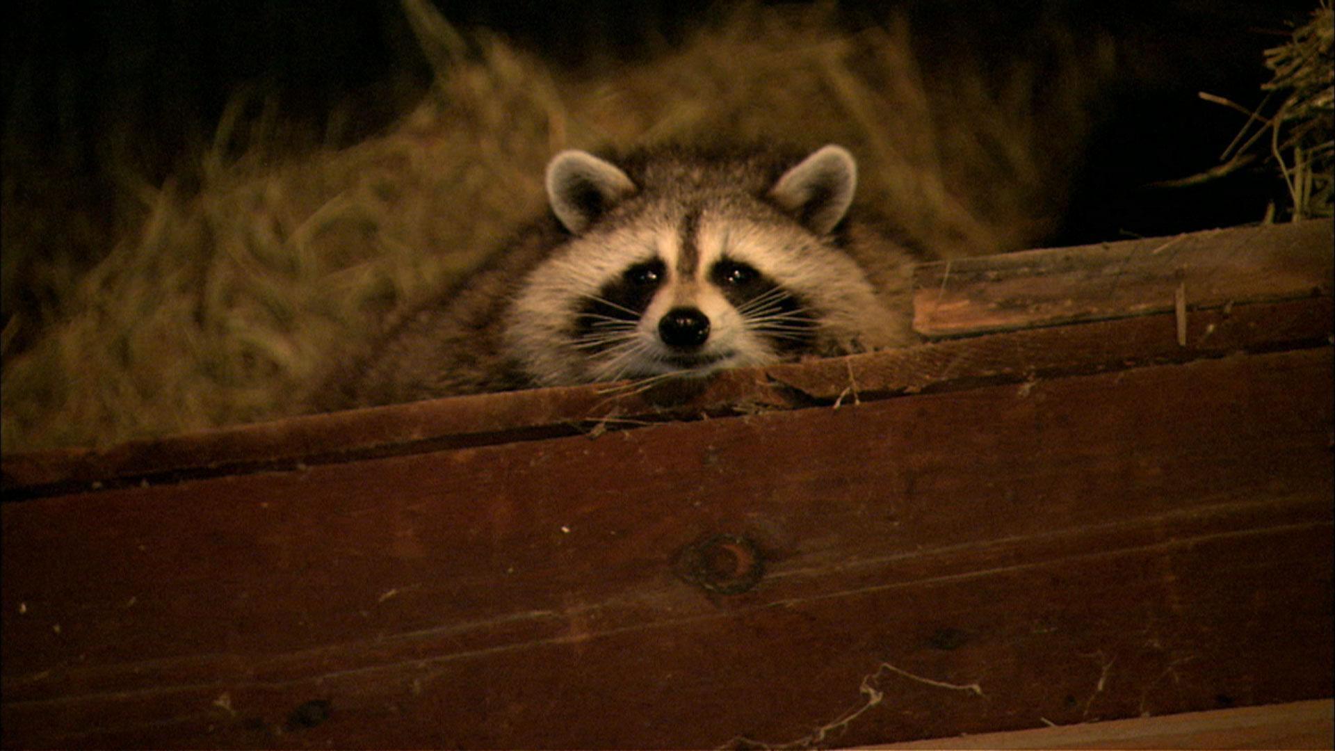 6dd35da0f3 Raccoon Nation