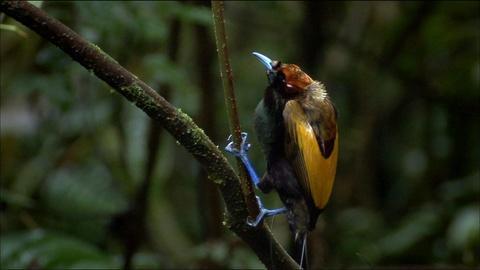Nature -- S29 Ep7: Magnificent Bird of Paradise
