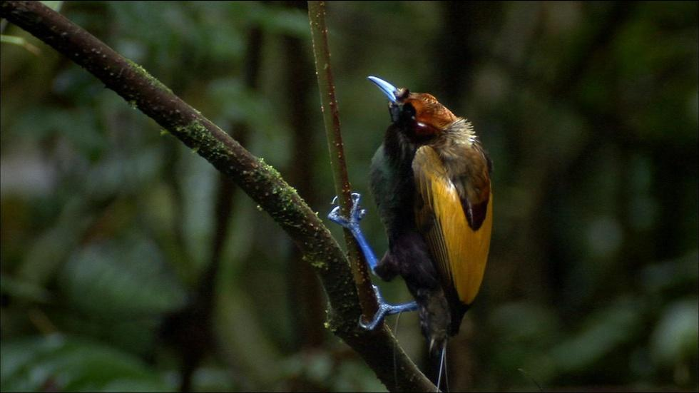 S29 Ep7: Magnificent Bird of Paradise image